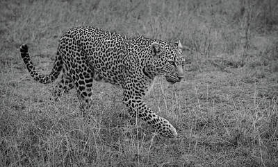 Royalty-Free and Rights-Managed Images - Leopard on Green Grass Field by Celestial Images