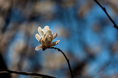 Animal Portraits - Magnolias Blossom by Robert Ullmann