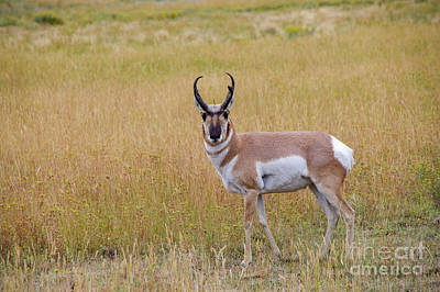 All American - Male pronghorn by Jeff Swan