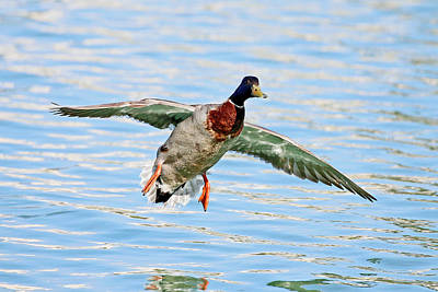 Winter Animals - Mallard Landing by Shoal Hollingsworth