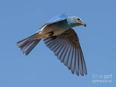 Royalty-Free and Rights-Managed Images - Mountain Bluebird Hover by Mike Dawson