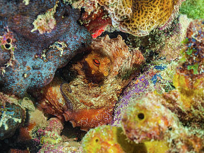 Photograph - Octopus Camouflaging in the Caribbean Reef by Organizacion Bluewater