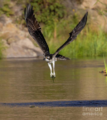 Steven Krull Royalty-Free and Rights-Managed Images - Osprey Fishing in Eleven Mile Canyon by Steven Krull