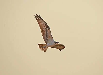 Pasta Al Dente Royalty Free Images - Osprey in Flight Royalty-Free Image by Whispering Peaks Photography