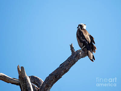 Royalty-Free and Rights-Managed Images - Osprey by Twenty Two North Photography