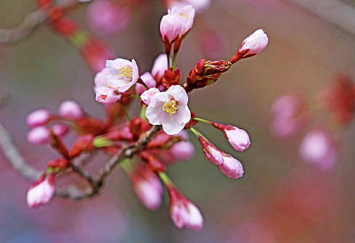 The Champagne Collection - Pink Cherry Blossoms by Debbie Oppermann