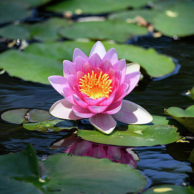Photograph - Pink Water Lily Nymphaea 'Marliacea Carnea' by Ray Sheley