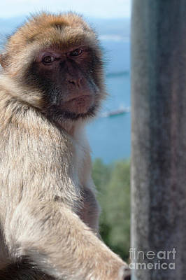 Photograph - Portrait of ape in Gibraltar by Beautiful Things
