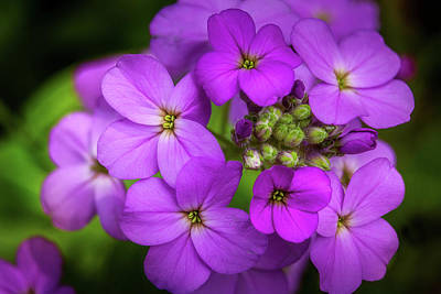 Royalty-Free and Rights-Managed Images - Purple Wildflowers by Andrew Soundarajan