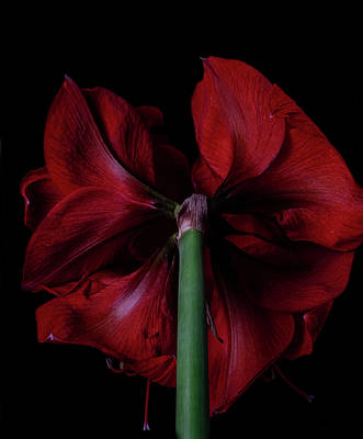Dental Art Collectables For Dentist And Dental Offices Royalty Free Images - Red Amaryllis Royalty-Free Image by Nailia Schwarz