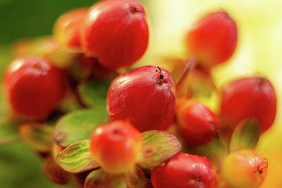 Travel Rights Managed Images - Red berry hypericum with green leaves in bouquet  Royalty-Free Image by Alex Grichenko