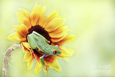 Moody Trees Rights Managed Images - Red Eyed Tree Frog on a Sunflower Royalty-Free Image by Linda D Lester