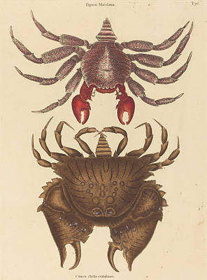 Drawing - Red Mottled Rock-crab, Cancer Grapsus by Mark Catesby