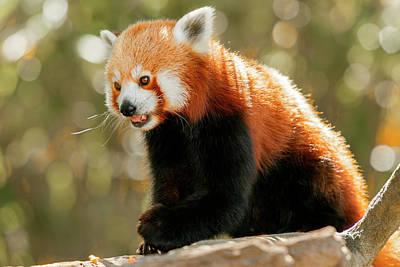 Nirvana - Red Panda by Rob Downer