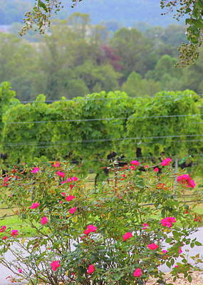 Up Up And Away - Red Roses And Vineyard Rows 2 by Cathy Lindsey
