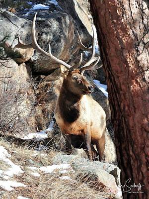 Jerry Sodorff Royalty-Free and Rights-Managed Images - RMNP Bull Elk DS by Jerry Sodorff