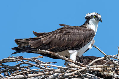 Royalty-Free and Rights-Managed Images - Osprey Ruffled Feathers by Mike Dawson