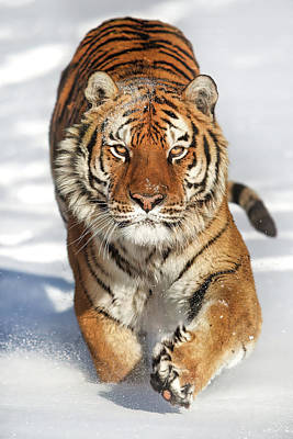 Fruits And Vegetables Still Life - Siberian Tiger coming Forward by Jerry Fornarotto