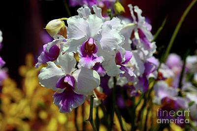 Lake Life - Singapores National flower purple and white Papilionanthe Miss Joaquim orchid by Imran Ahmed