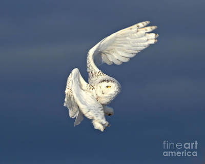 Abstract Water - Snowy owl in flight  by Heather King