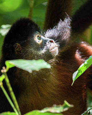 Photograph - Spider Monkey in Corcovado by Adrian O Brien