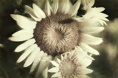 Sean Rights Managed Images - Sunflower  Royalty-Free Image by Alisha Jurgens