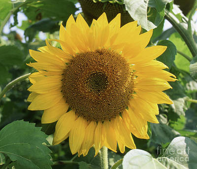 Pittsburgh According To Ron Magnes - Sunflower by Timothy Johnson