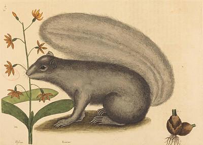 Drawing - The Grey Fox Squirrel, Sciurus Cinereus by Mark Catesby