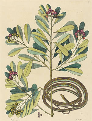 Drawing - The Ribbon Snake, Coluber Saurita by Mark Catesby