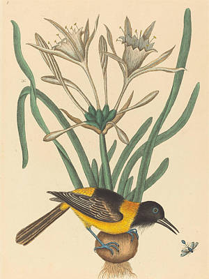 Drawing - The Yellow And Black Pye, Oriolus Icterus by Mark Catesby