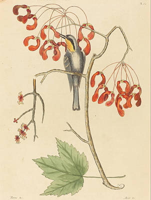 Drawing - The Yellow Throated Creeper by Mark Catesby