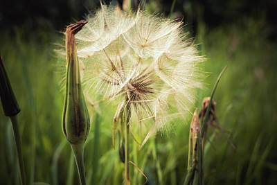 Giuseppe Cristiano - Tragopogon, goatsbeard or salsify is like a huge dandelion flower. by David Ridley