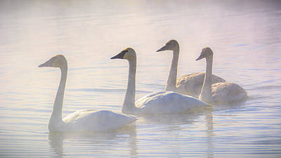 Photograph - Trumpeter Swans at Kelly Warm Spring IV by Douglas Wielfaert