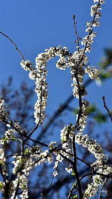 Jerry Sodorff Royalty-Free and Rights-Managed Images - White Blossoms Blue Sky by Jerry Sodorff