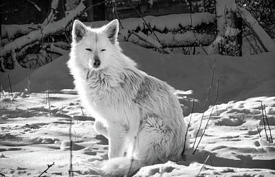 1-war Is Hell Royalty Free Images - White Wolf on Snow Covered Ground_0001 Royalty-Free Image by Celestial Images