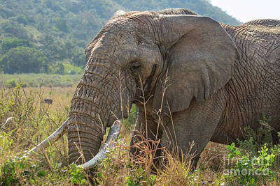 Animals Royalty-Free and Rights-Managed Images - Wild African Elephant by Jamie Pham