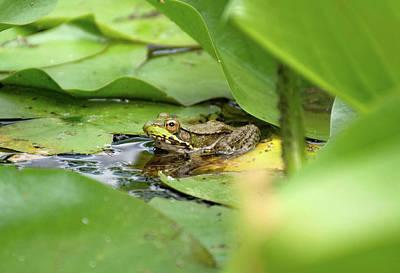 Photograph - American Bullfrog  by Cheryl Dumoulin