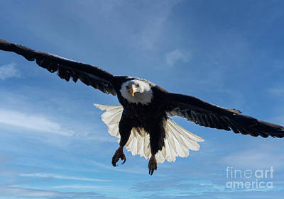 Steven Krull Royalty-Free and Rights-Managed Images - Bald Eagles in Eleven Mile Canyon by Steven Krull