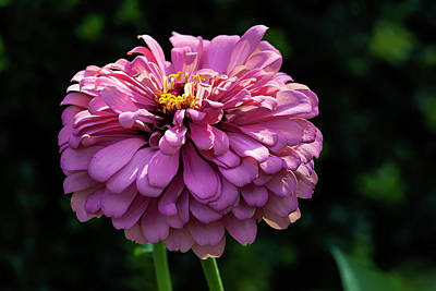 World Forgotten Rights Managed Images - Zinnia Royalty-Free Image by Robert Ullmann