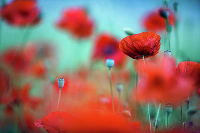 Royalty-Free and Rights-Managed Images - Poppy Dream by Nailia Schwarz