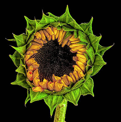 Anne Geddes Florals - Sunflower by Robert Ullmann