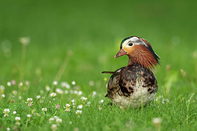 Modern Kitchen - A Mandarin Duck standing on a meadow by Stefan Rotter