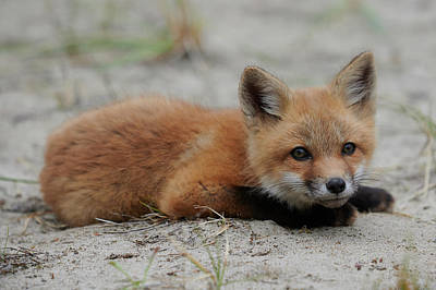 Curtis Patterson Rights Managed Images - Baby red fox Royalty-Free Image by Curtis Patterson
