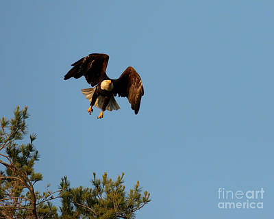 Classical Masterpiece Still Life Paintings - Bald eagle in flight by Heather King