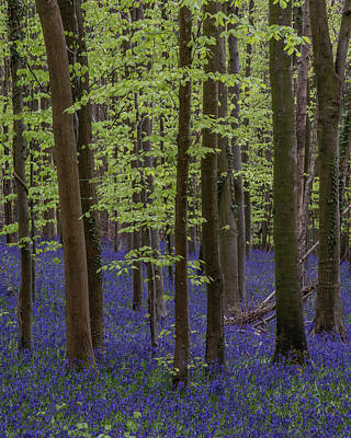 Pasta Al Dente - Beautiful soft spring light in bluebell forest in English countr by Matthew Gibson