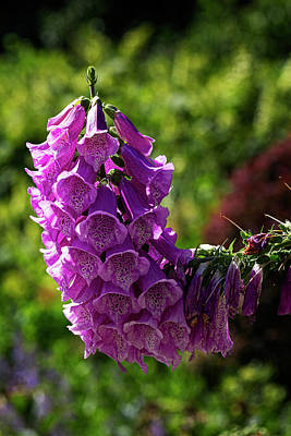 Bath Time Rights Managed Images - Foxglove Royalty-Free Image by Robert Ullmann