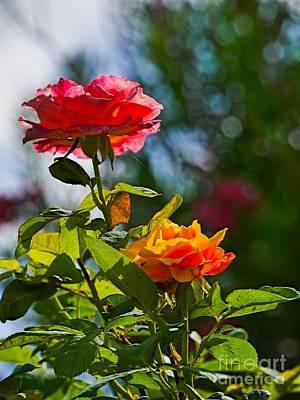 Classic Golf - Garden Roses by Gary Richards