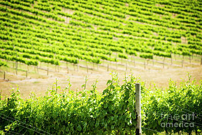 Royalty-Free and Rights-Managed Images - Grape Vines by THP Creative