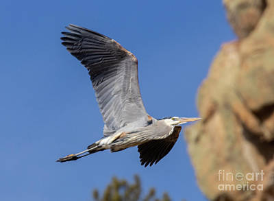 Steven Krull Royalty-Free and Rights-Managed Images - Great Blue Heron by Steven Krull
