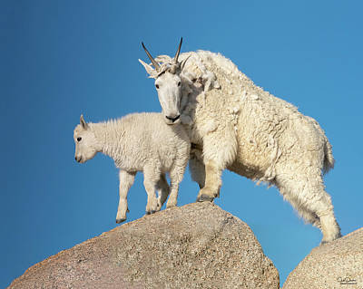 Classic Golf - Mom and Baby Mountain Goat by Judi Dressler